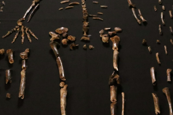 Dinaledi skeletal specimens - from eLife DOI: 10.7554/eLife.09560.003