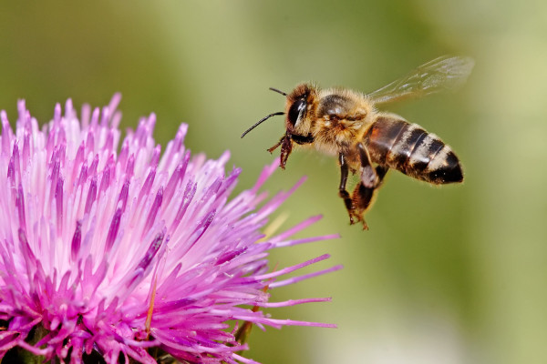 A honeybee hovering above a thistle