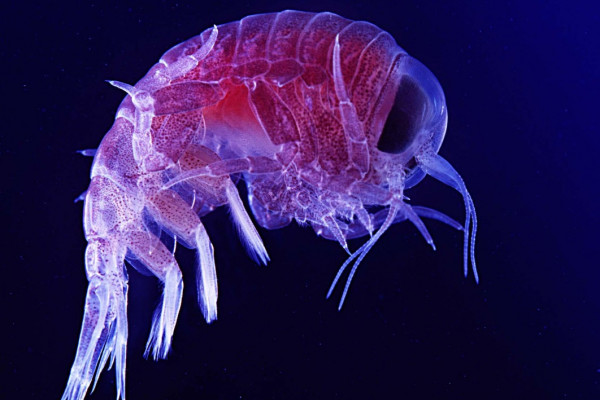 Amphipod in deep ocean