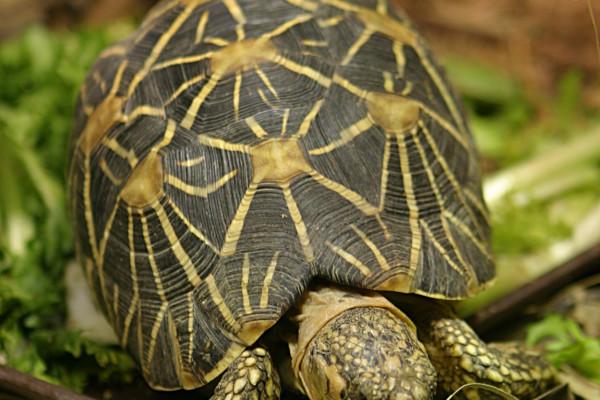 Geochelone elegans the Indian Star Tortoise