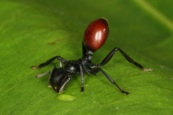 Infected ant looking like a berry