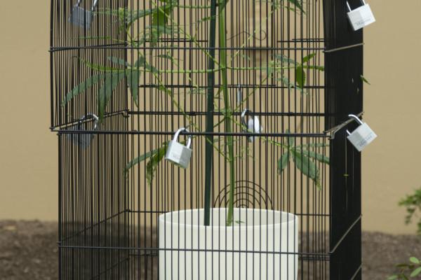 The marijuana plant under lock and key at Kew Gardens' Intoxicating Plants Event.