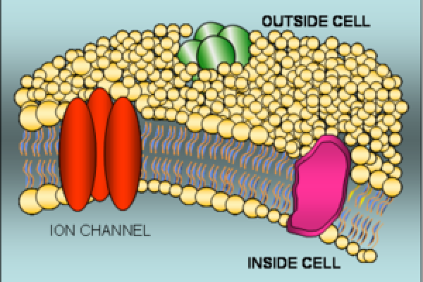The cell membrane is a thin layer of lipids that isolates the world inside the cell from the outside. While it retains vital cell components, it prevents the exchange of water-soluble molecules. Several transport devices (as well as other proteins)...