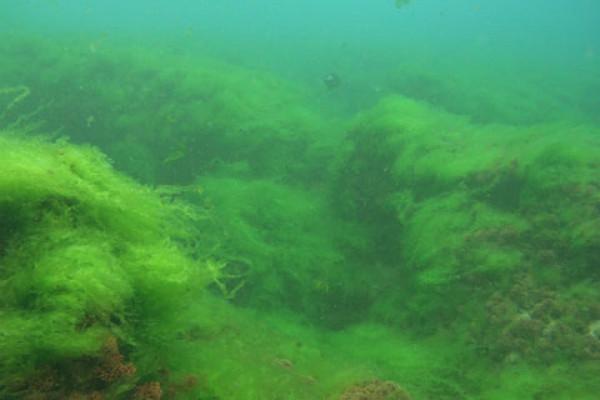 Algae growing on coral
