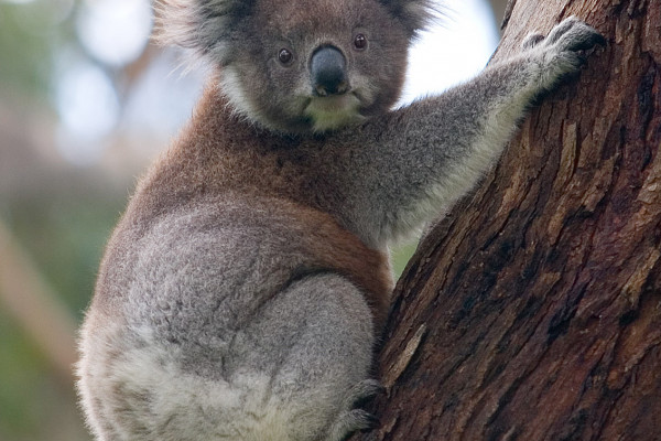 A koala climbing up a tree. Taken on the 28th of July, 2004 in Cape Otway National Park, Victoria, Australia.