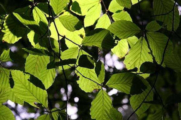 Beech leaves.