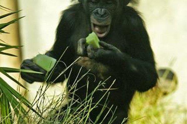 A Bonobo, Pan Paniscus