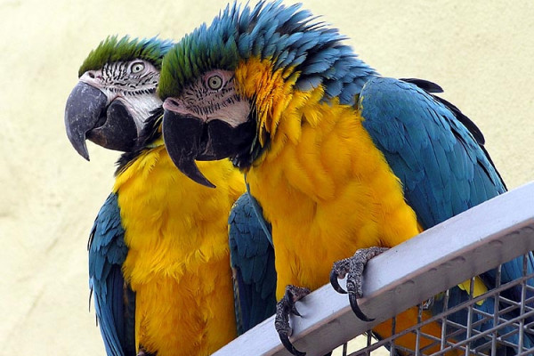 Blue and Yellow macaws at Combe Martin Wildlife and Dinosaur Park, North Devon, England.