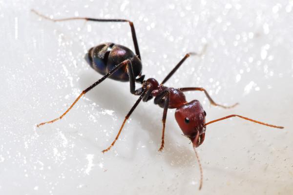 Ant feeding on Honey