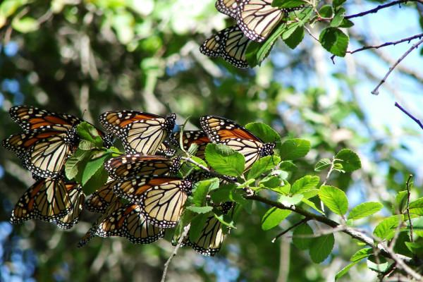 Migrating Monarch butterflies (Danaus plexippus plexippus) in central Texas.
