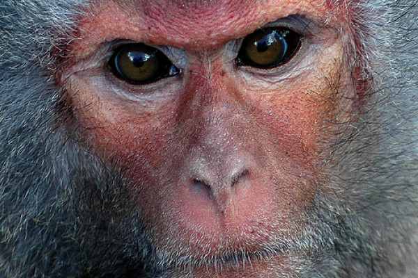 The Rhesus Macaque - successfully cloned.