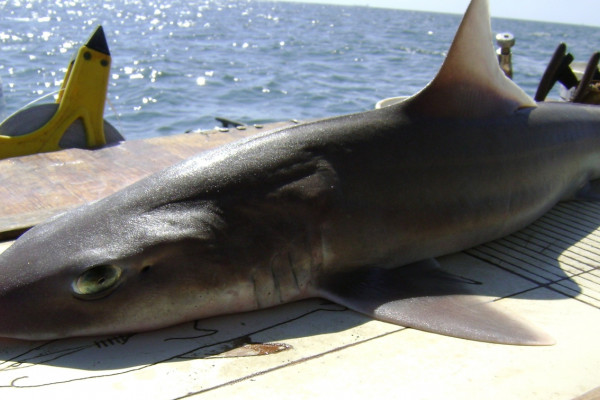 Smooth dogfish (Mustelus canis)