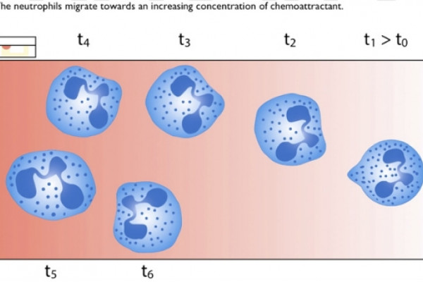 The neutrophils migrate towards increasing concentrations of chemoattractant molecules.