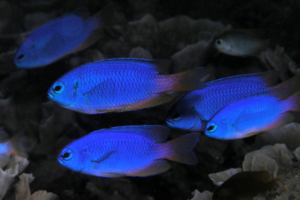 Neon damselfish (Pomacentrus coelestis) from East Timor.