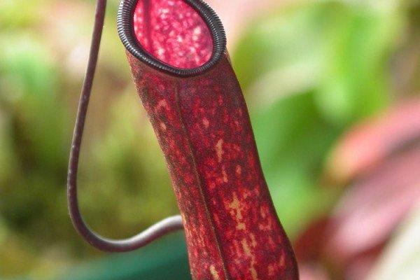 Pitcher Plant - N. muluensis
