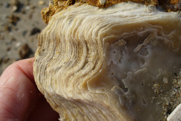 Layers in an oyster shell, found on the beach of the James River, Chesapeake Bay, in Virginia.