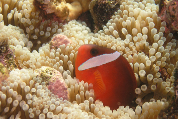 A species of Amphiprion that's endemic to Fiji, Tonga and Samoa which I described (A. barberi).