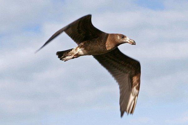 A juvenile pacific gull