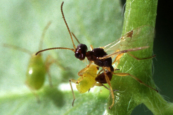 A quarter-inch-long parasitic wasp, Peristenus digoneutis, prepares to lay an egg in a tarnished plant bug nymph.