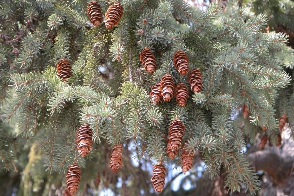White spruce tree