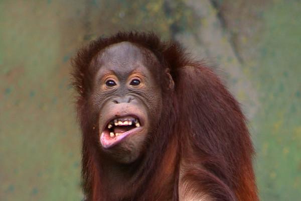 Orangutan (Pongo pygmaeus) in Aalborg Zoo, Denmark