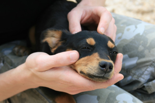 Portrait of a Dobermann puppy near Coltan.