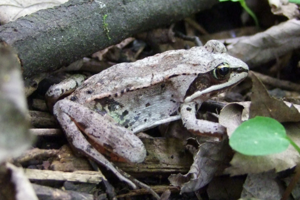 Wood frogs can survive freezing