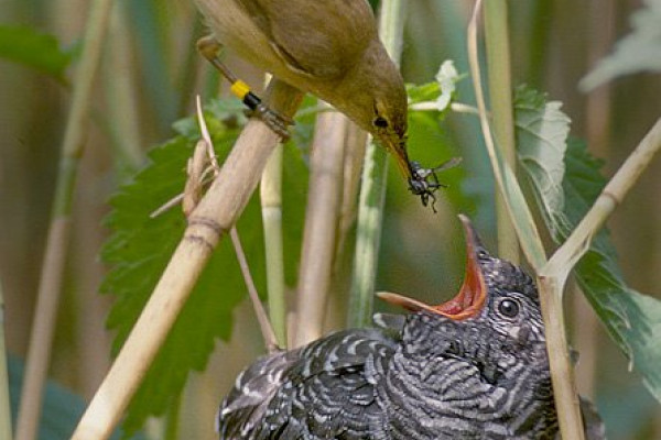 A Reed Warbler feeding a Common Cuckoo