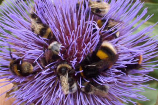A swarm of different bumblebee species all feeding on the huge flower of a cardoon.