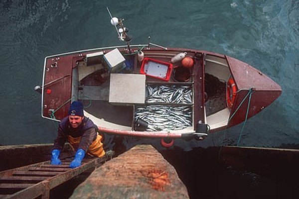 The South-West mackerel handline fishery in the UK – first certified in 2001 – now supplies fresh fish to UK supermarkets and restaurants, including celebrity chef Jamie Oliver's Fifteen restaurant in London.