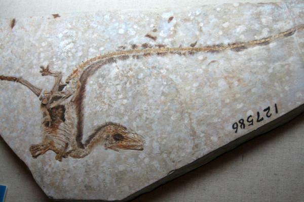 Sinosauropteryx type specimen with filament impressions, Inner Mongolia Museum
