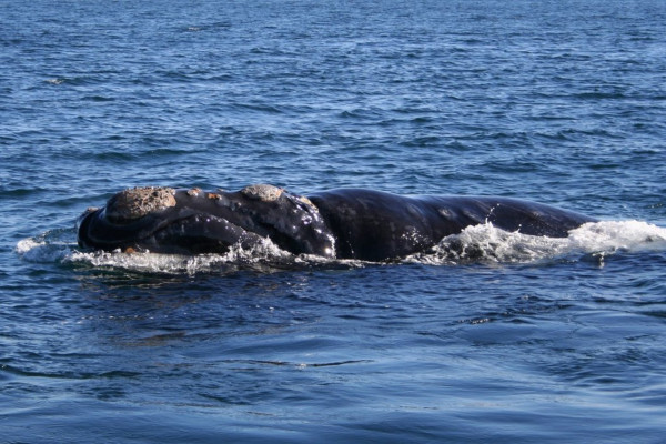 Southern right whale (Patagonia, Argentina)