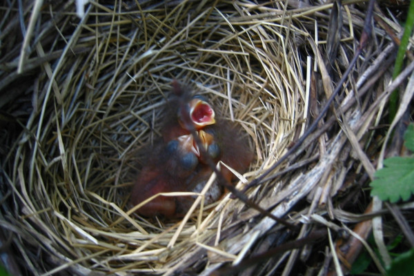 Infant Lincoln's Sparrows