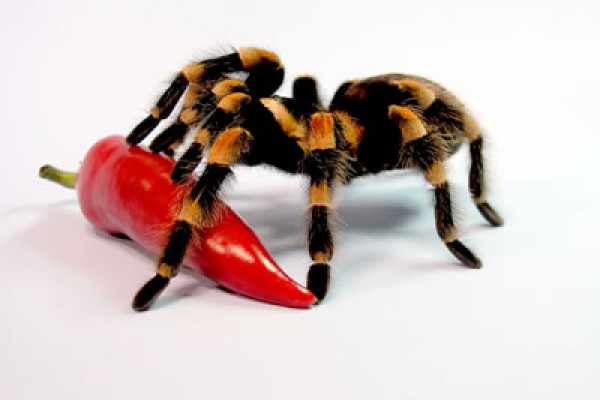 The Trinidad tarantula - fangs as big as a rattlesnake's and dinner is as big as baby mouse.
