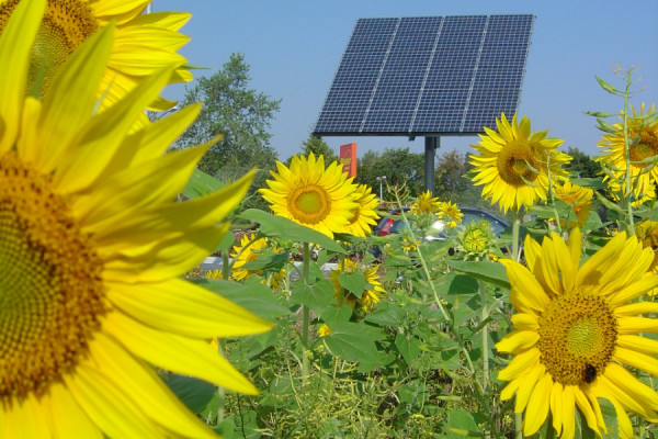 Solar panel in sunflower field, Buerstadt, Germany.