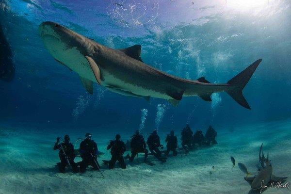 Tiger Shark dive tourism