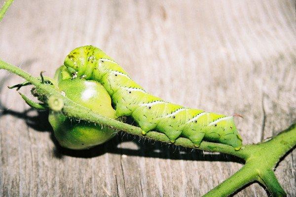 Tobacco Hornworm Caterpillar, feeding on tomato plants