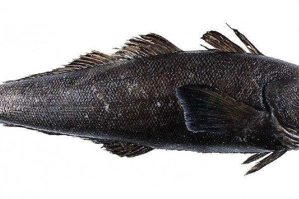Patagonian toothfish, Dissostichus eleginoides
