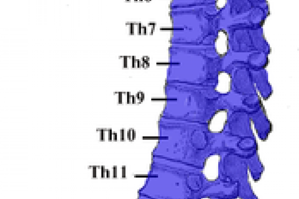 The human vertebral column.