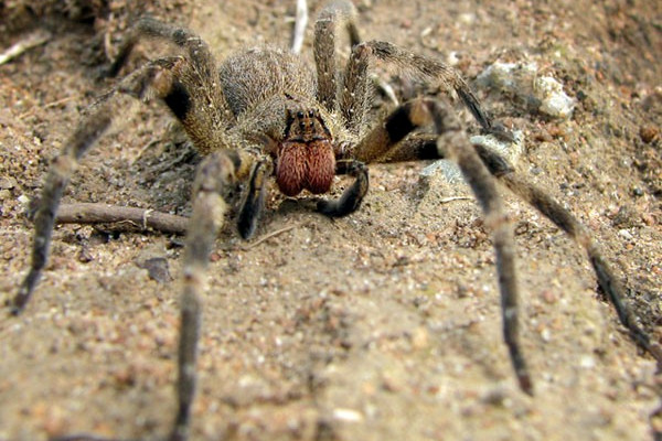 A Brazilian Wandering Spider