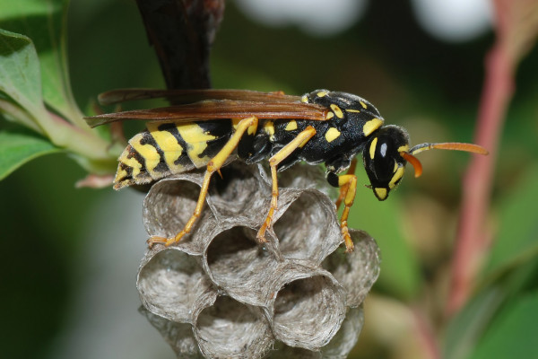 A paper wasp queen (<i>Polistes dominulus<i/>) creating a new colony.