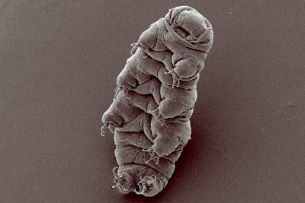 Water bear (tardigrade), Hypsibius dujardini, scanning electron micrograph by Bob Goldstein