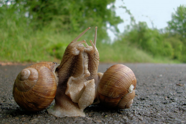 Pairing of two snails/Paarung zweier Weinbergschnecken