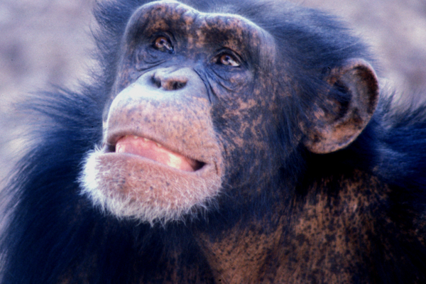 Young adult male chimpanzee