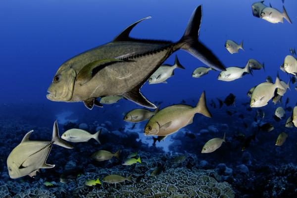Pitcairn Island fish 1, © Enric Sala, National Geographic