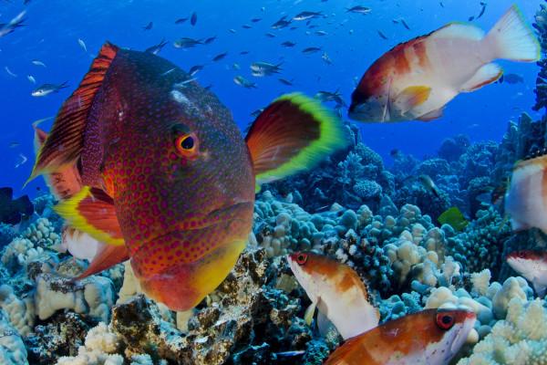 Pitcairn Island Fish 3, © Enric Sala, National Geographic