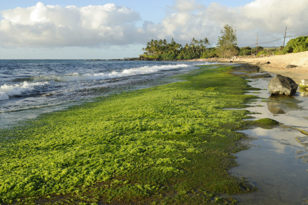 Cyanobacteria, one of the sources of oxygen on the early Earth