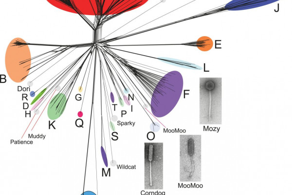 Genetic diversity of bacteriophages infecting Mycobacterium smegmatis