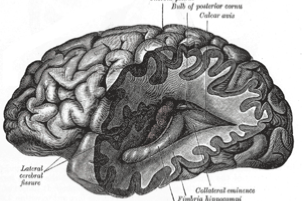 Brain, Gray's Anatomy of the Human Body