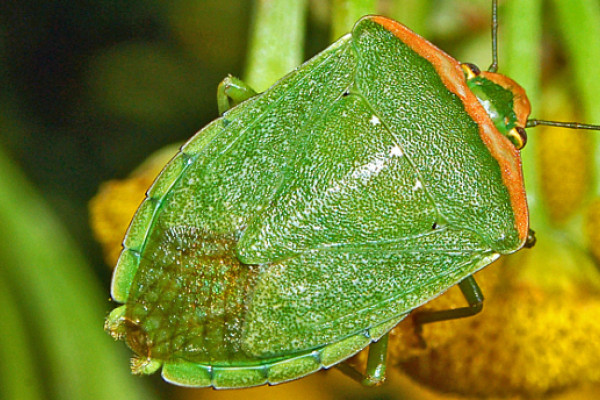 The Nezara viridula stink bug is one pest that is highly resistant to pesticides. Image credit: 'Pentatomidae - Nezara viridula f. torquata' by Hectonichus is licensed under CC SA-3.0